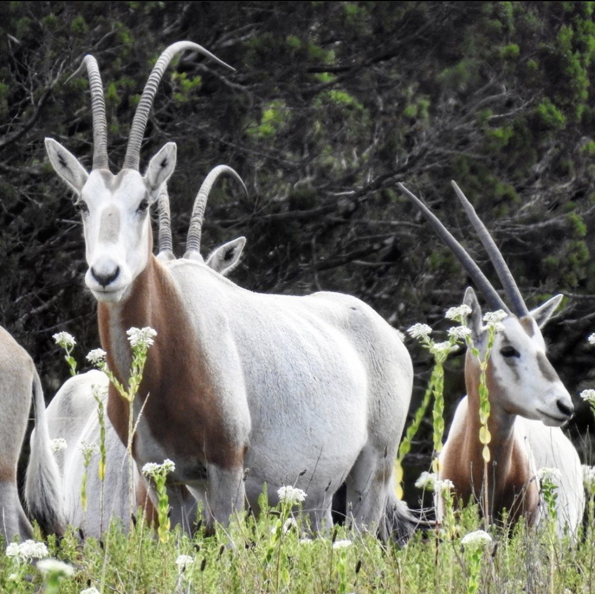 Texas Scimitar Horned Oryx