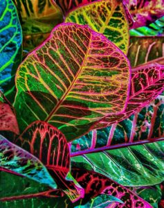 Colorful Crotons Bonnet House Larry Singer Nature Photography