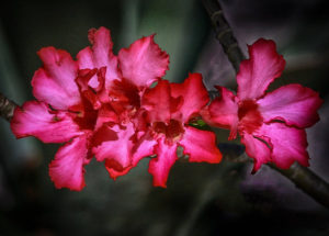 Desert Rose Bonnet House Larry Singer Nature Photography