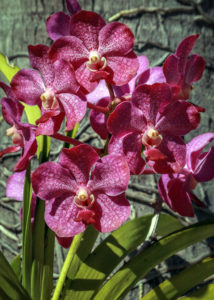 Orchids with Faces #2 Bonnet House Larry Singer Nature Photography