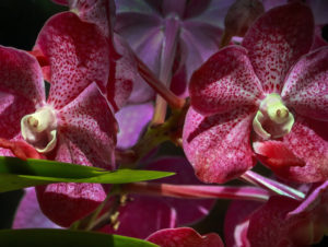 Orchids with Faces #4 Bonnet House Larry Singer Nature Photography