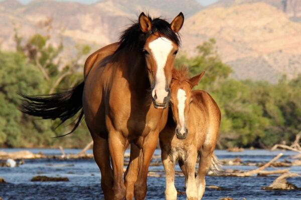 Salt River Wild Horse nonprofit gains in fertility program, loses donations