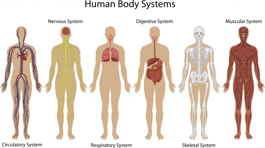large Human body systems