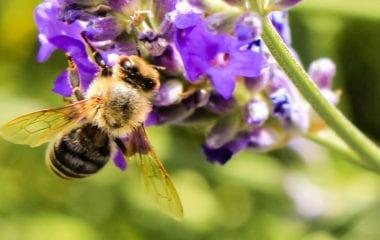Honey Bee in the Sun Nutraphoria