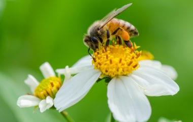 Benefits of Bee Pollen Nutraphoria