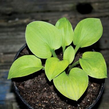 Giantland Mouse Cheese Hosta