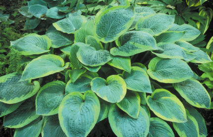 Glory Hallelujah Hosta