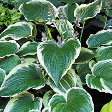 Gone With the Wind Hosta