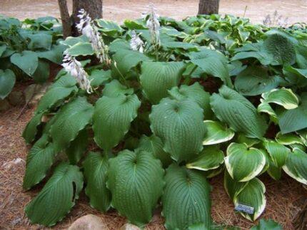 Green Piecrust Hosta