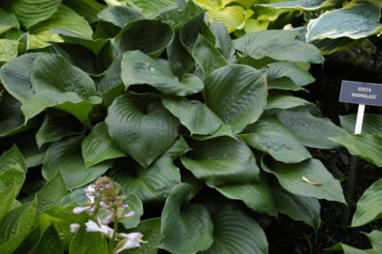Lakeside Iron Man Hosta