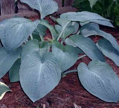 Lakeside Magnetic Force Hosta