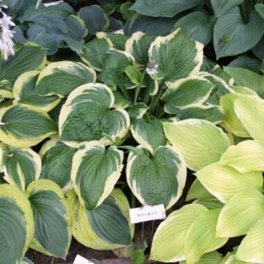 Mint Julep Hosta