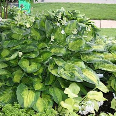 Polar Moon Hosta