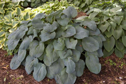 Quilted Hearts Hosta