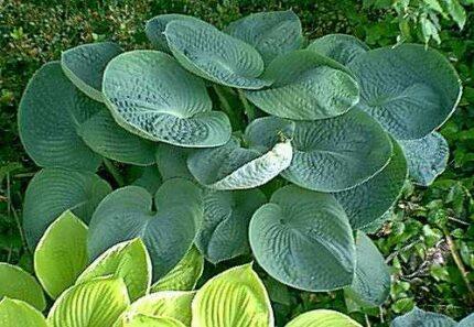 Sea Lotus Leaf Hosta