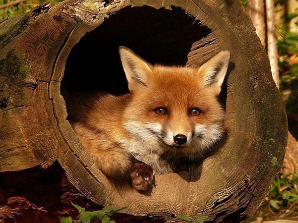 Fox_Hole