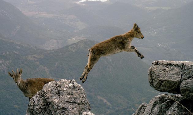 mountain-goats-leap