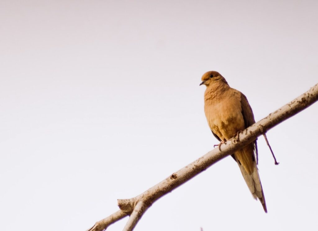 bird mourning dove