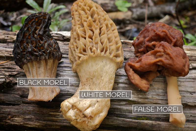 Morel Mushrooms 101: How to safely locate, harvest, and eat morels