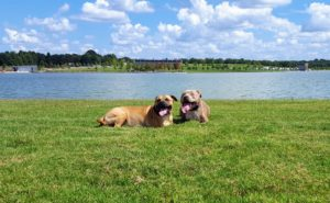 Two Pit Bulls dog obedience training in Memphis