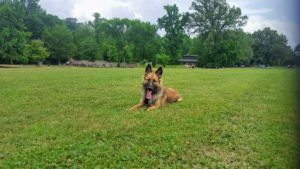 Belgian Malinois practicing obedience at Overton Park in Memphis, TN