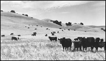 Black Angus on the Wood Ranch, 1930s
