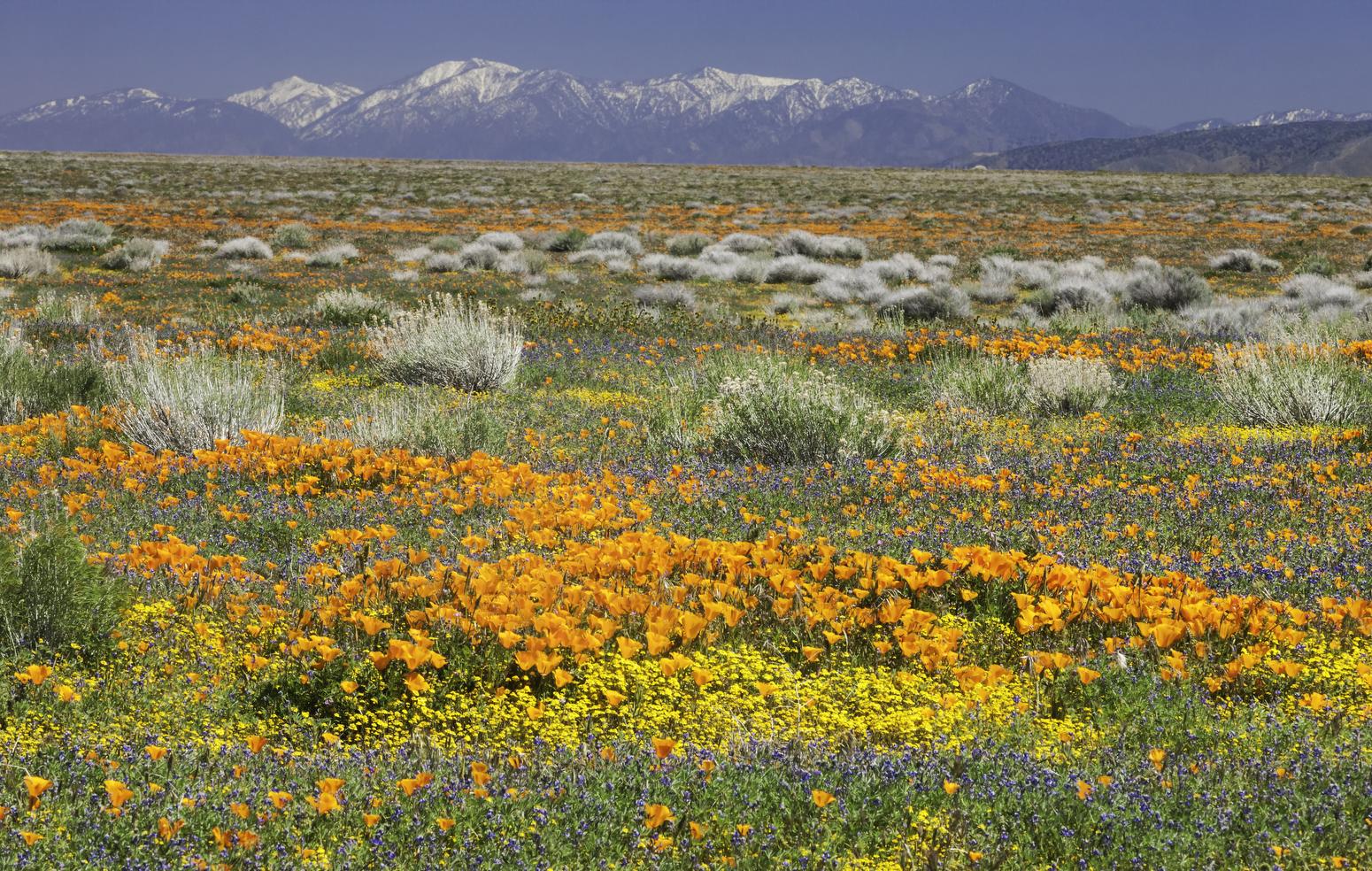 Field of wildflowers, California Poppy