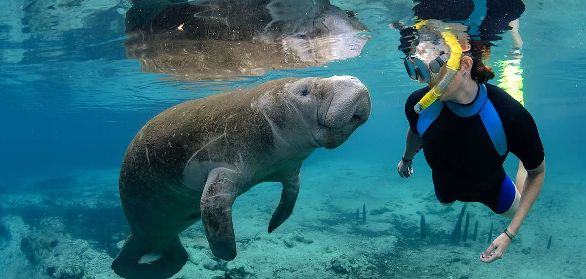 A scuba diver and manatee come face to face under water in Citrus County's Crystal River