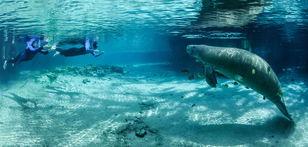 Two scuba divers taking a photo of a manatee under the water in Citrus County's Crystal River