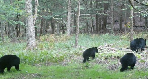 What is it about bears?