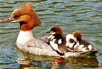 Four Morning Ducks