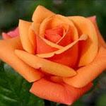 orange-rose-the-gift-guru