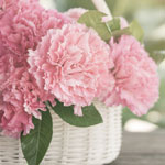 pink-carnation-meaning-the-gift-guru