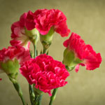 red-carnation-meaning-the-gift-guru