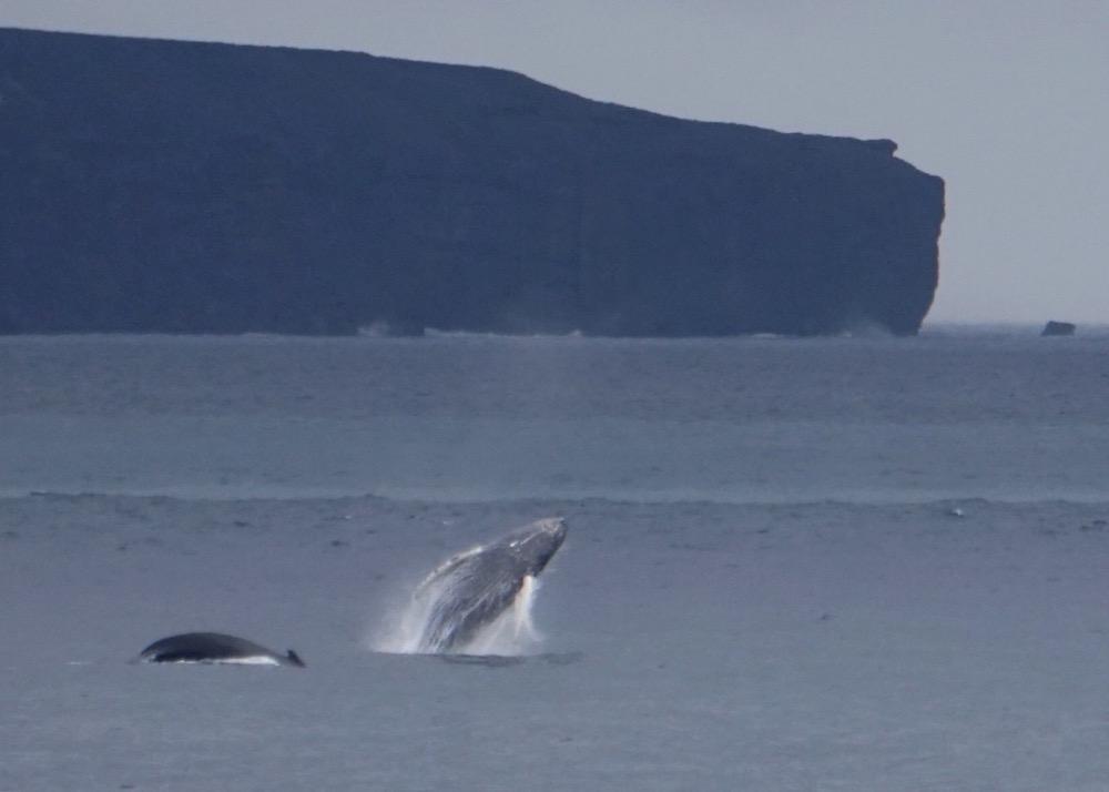 whales_breaching