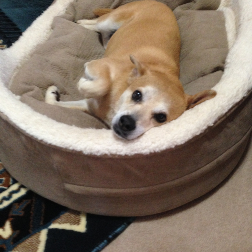 Katie-dog in Bed