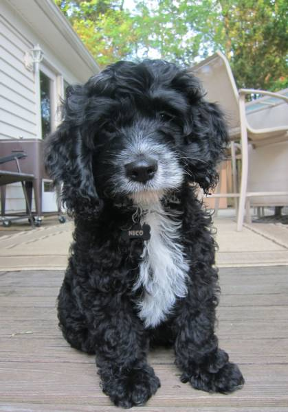 """""""Cockapoo""""My mom is Retired"""