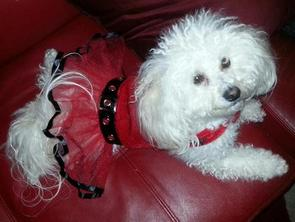 """Maltipoo """"Cotton"""" Her mom is retired."""