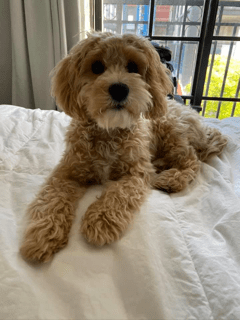 """""""Cockapoo"""" Mom is Shelby"""