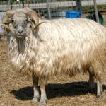 Karakul Sheep for Sale in Bluemont VA