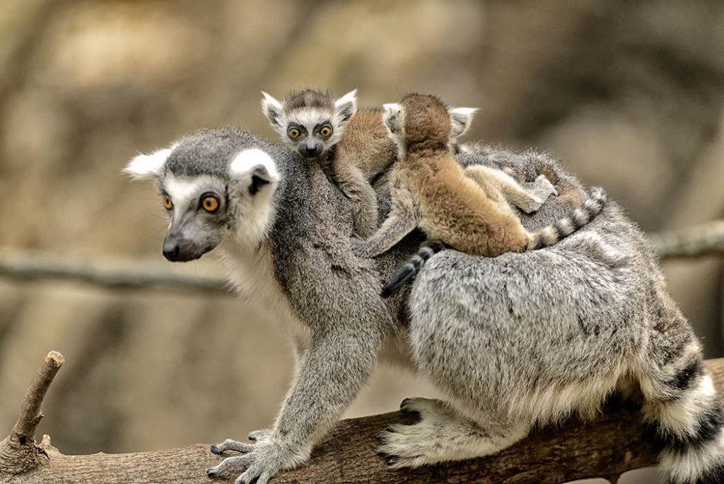 Lemurs, mamá lemur, bebé lemur, lemurs comiendo, mamá lemur y su hijo, galería animal, madres en la naturaleza, esfera viva, galería animales