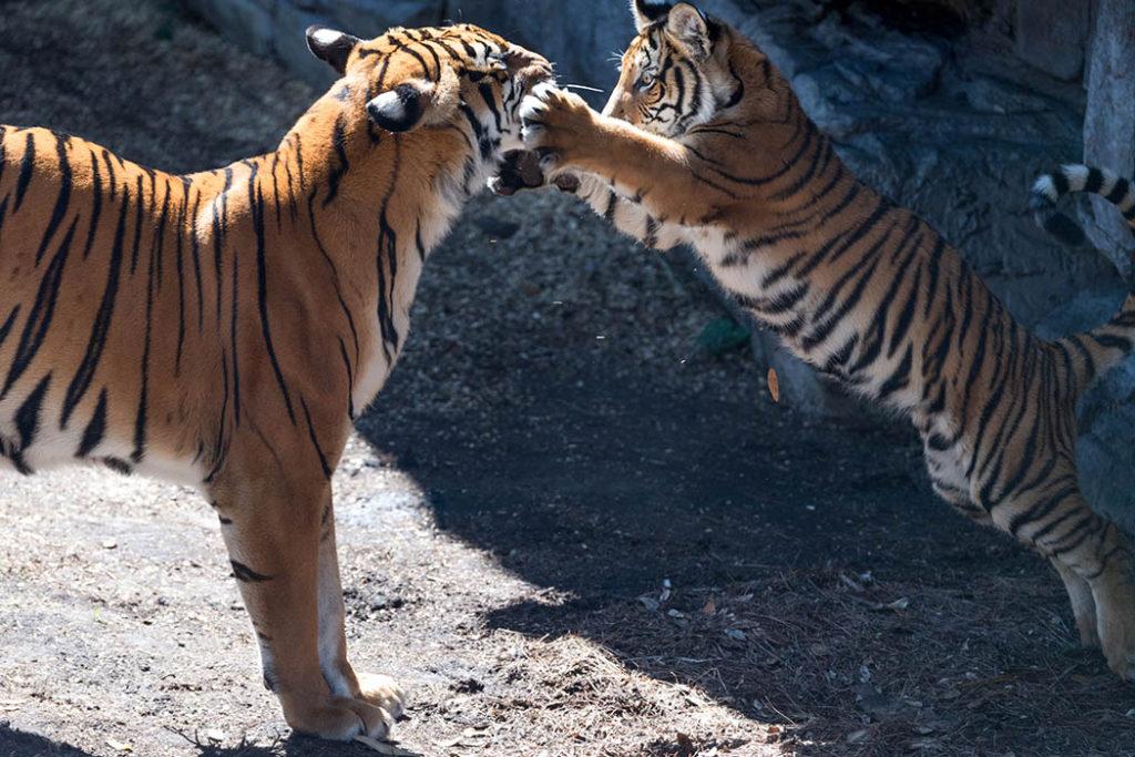 Mamá tigre y su hijo, tigres, madres en la naturaleza, galería, selección mamás naturales, cachorro de tigre, esfera viva