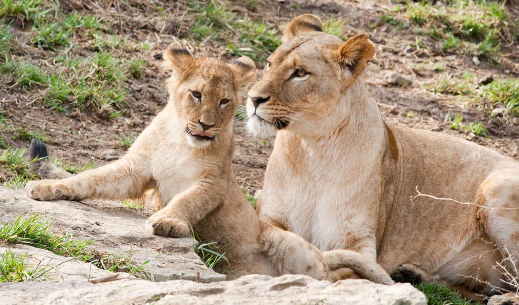 Leones, leona y su cachorro, galería mamás en la naturaleza, fotografía leones, leona, esfera viva, galería animal.