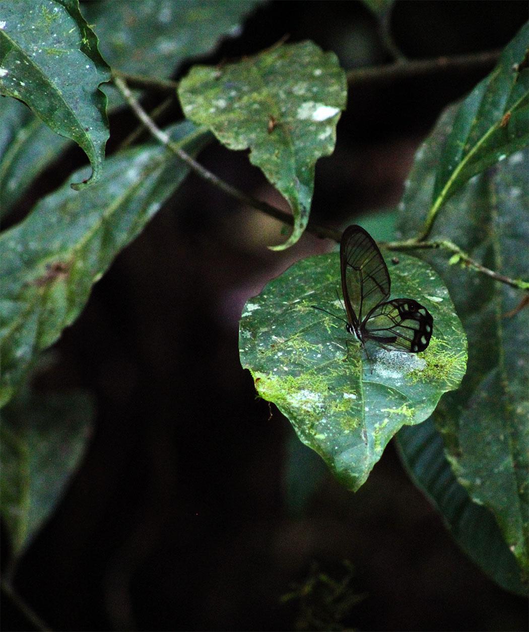 mariposa alas de cristal, alto de san miguel, nacimiento rio medellín, rio aburrá