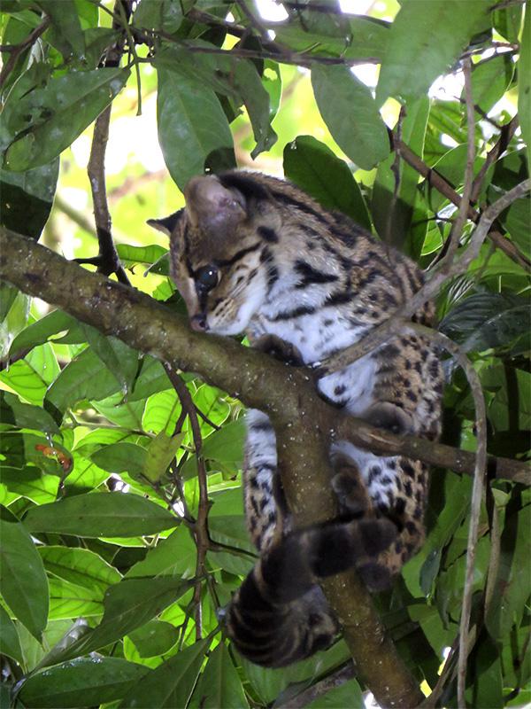 tigrillo lanudo, Leopardus tigrinus, alto de san miguel, caldas, antioquia, valle de aburrá, refugio alto de san miguel, felino