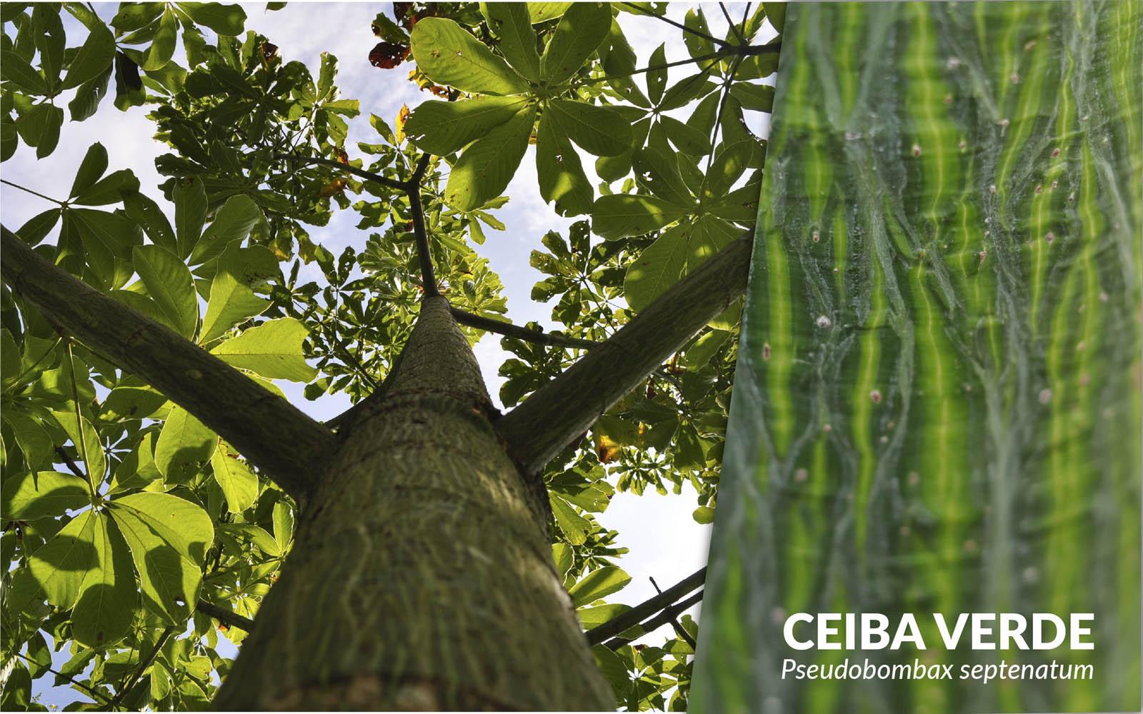 Ceiba verde