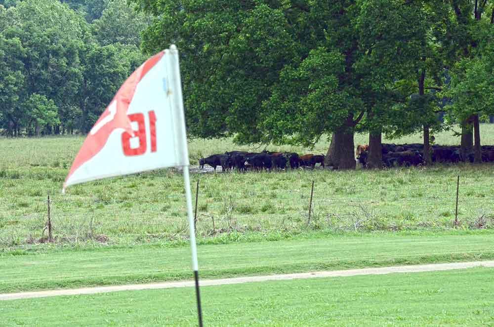 Elk-River-Golf-Club,-Noel,-MO-cows