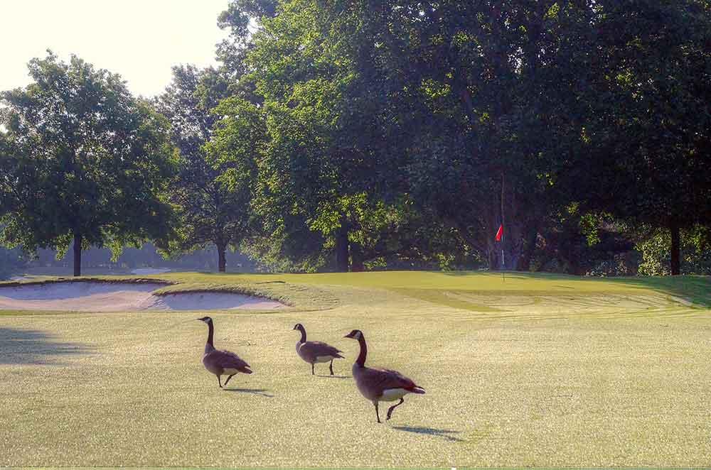 Twin-Hills-Country-Club,-Joplin,-MO-Geese