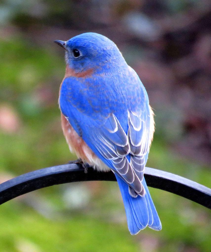 Bluebird by Penny Parrish  (Jan-June 2017, CBTC)