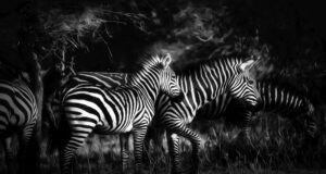 Mystic Serengeti, Photograph on Metal by Gregg McCrary, 16in x 30in, $225 (March 2021)